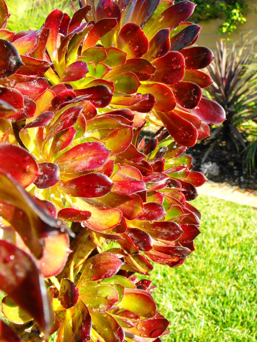 Spring version of red-purple aeonium