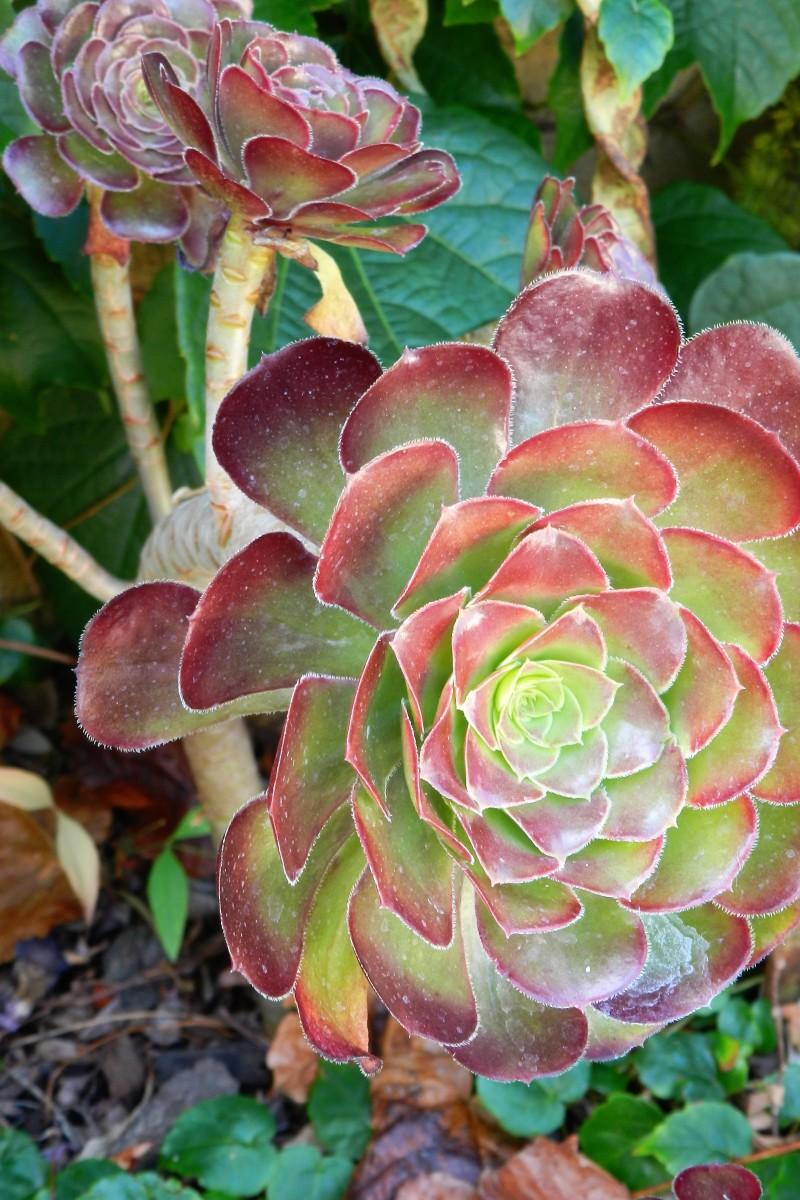 shiny-chocolate-rosettes-cluster-this-aeonium-succulent