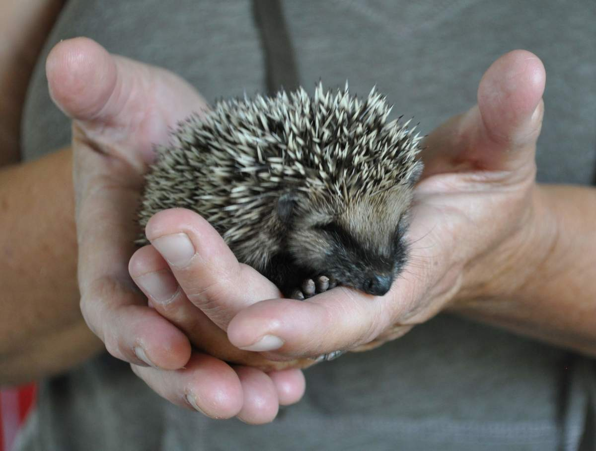 14-day-old hedgehog baby girl, Gotland, Sweden