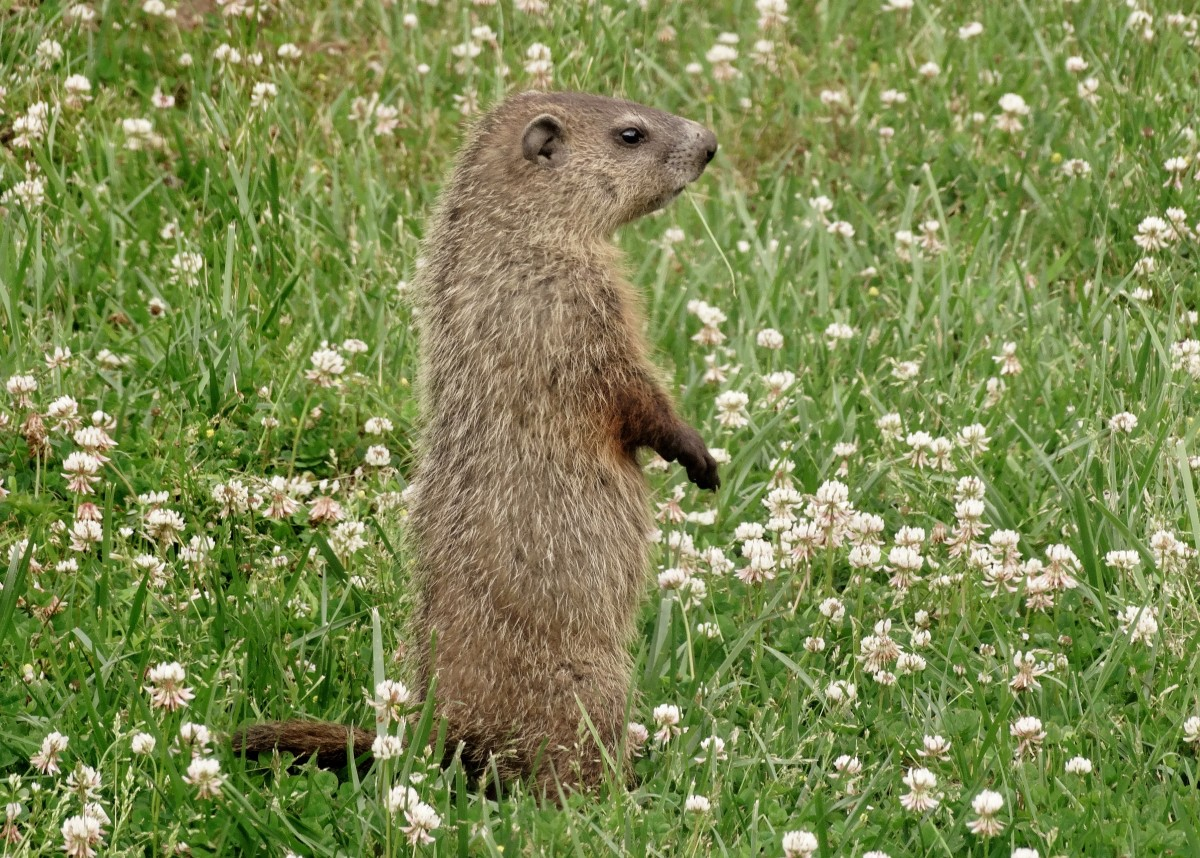 How to Get Rid of Groundhogs, Woodchucks, and Voles ...