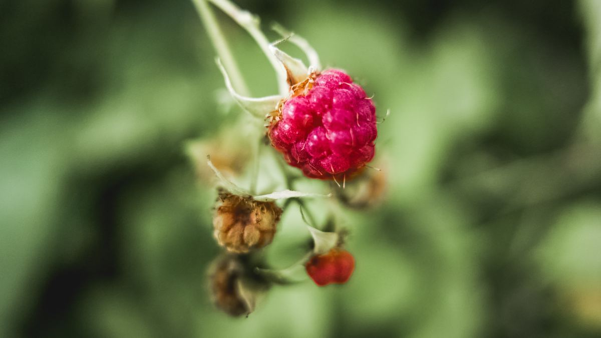 Without proper pruning—or due to over-pruning—your raspberry bush may not produce as much fruit as you'd like.