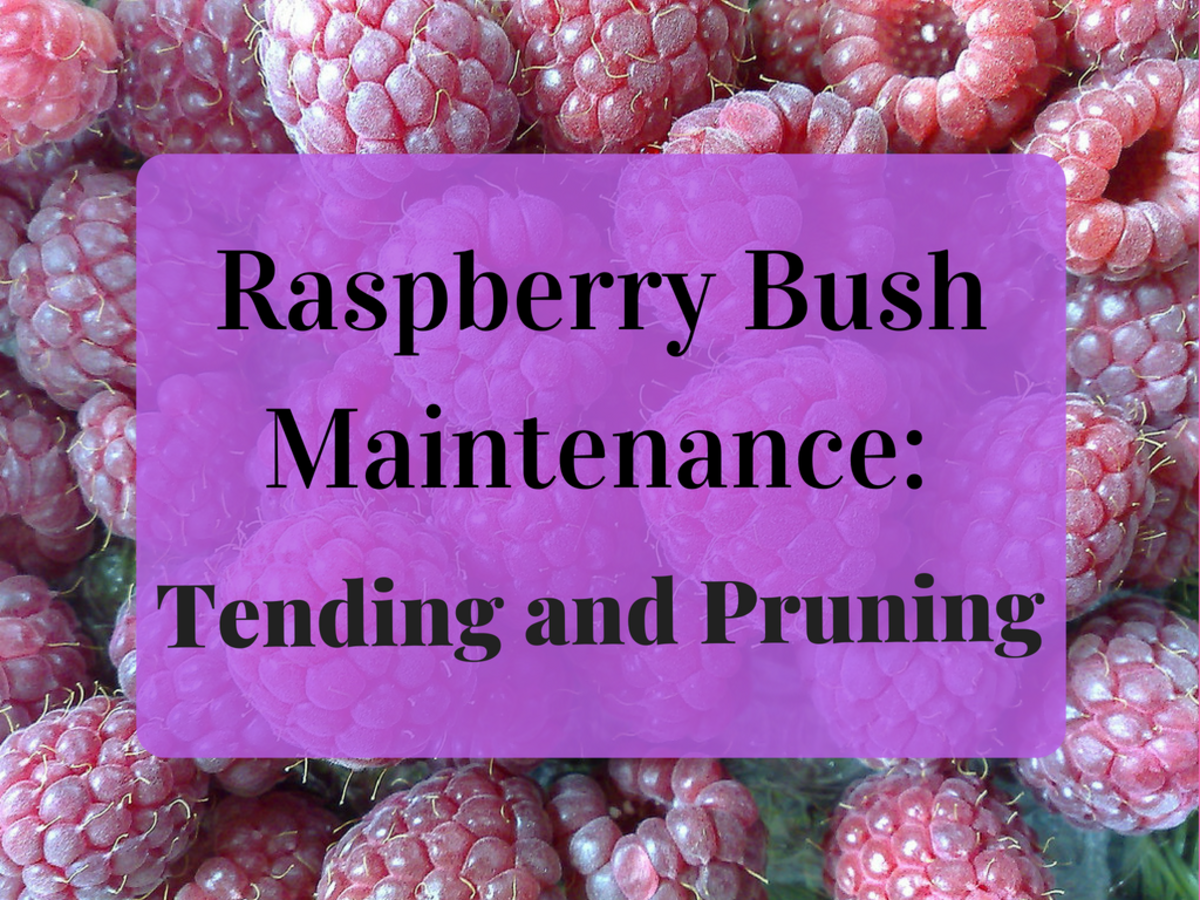 How and When to Plant and Prune Raspberry Bushes