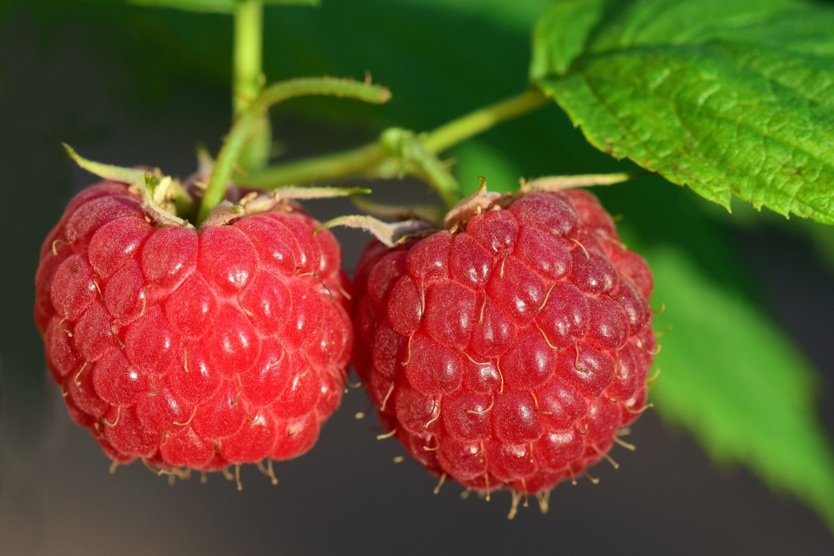 Knowing which variety of raspberry plant you're growing will help you know how often you need to prune.