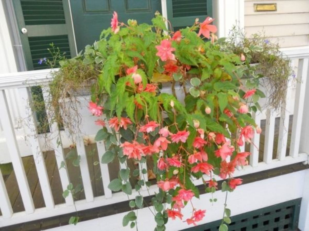 Window-Box with Vinca Vine, Blue Lobelia and Fuschia