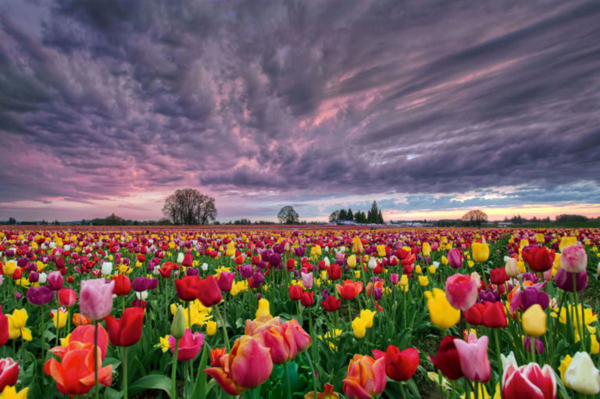 Tulips in bloom.