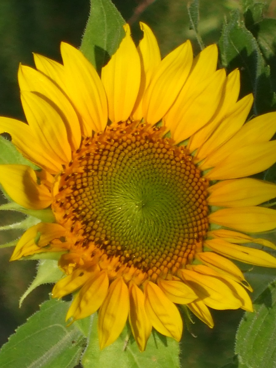 Another sunflower earlier in its growth cycle.