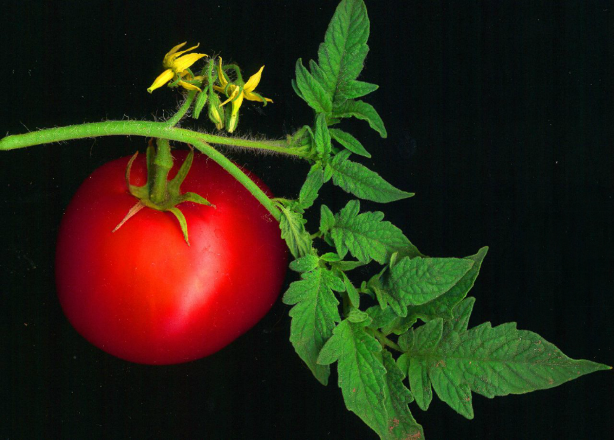 Picture of tomato fruit by David Besa from Creative Commons.