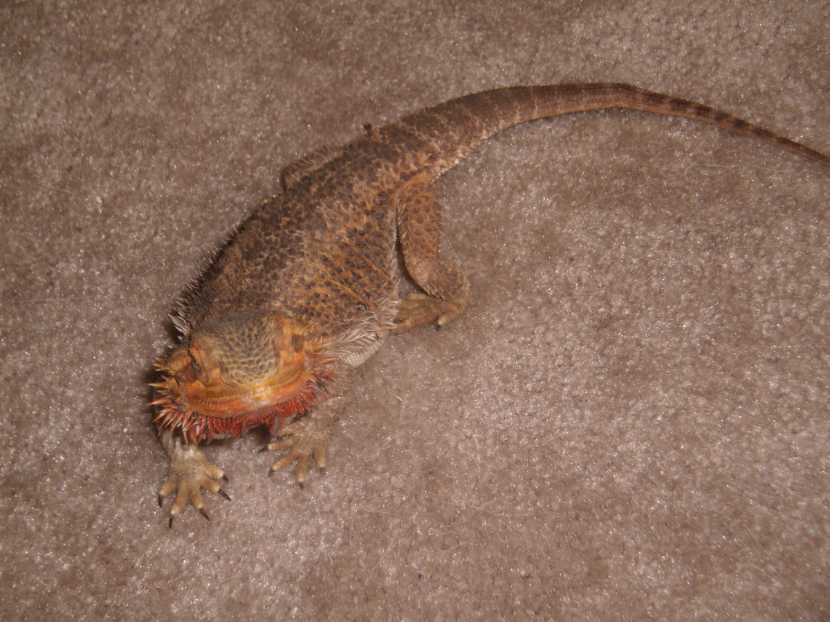 Bearded dragon behavior and diseases
