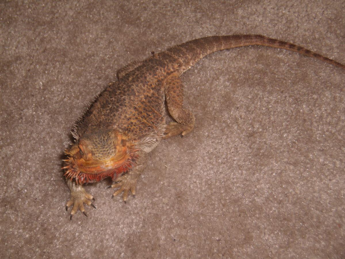My personal bearded dragon.