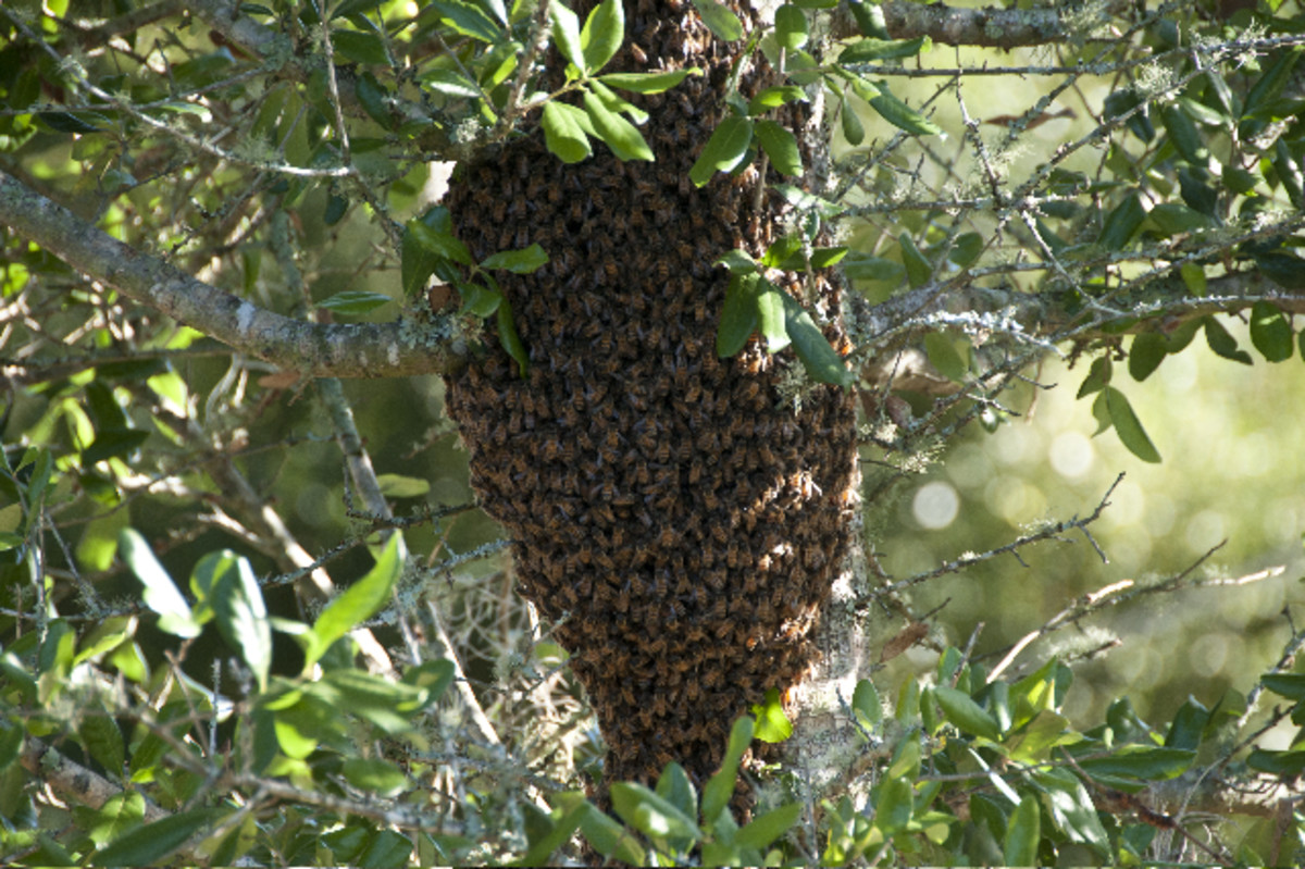 Bees swarming a tree.