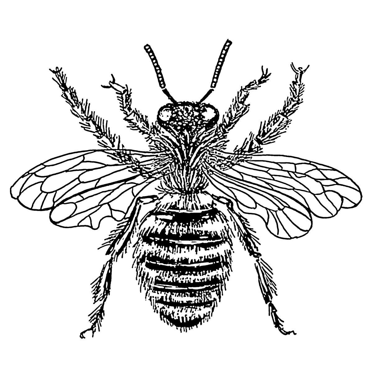 A drawing of a queen bee.