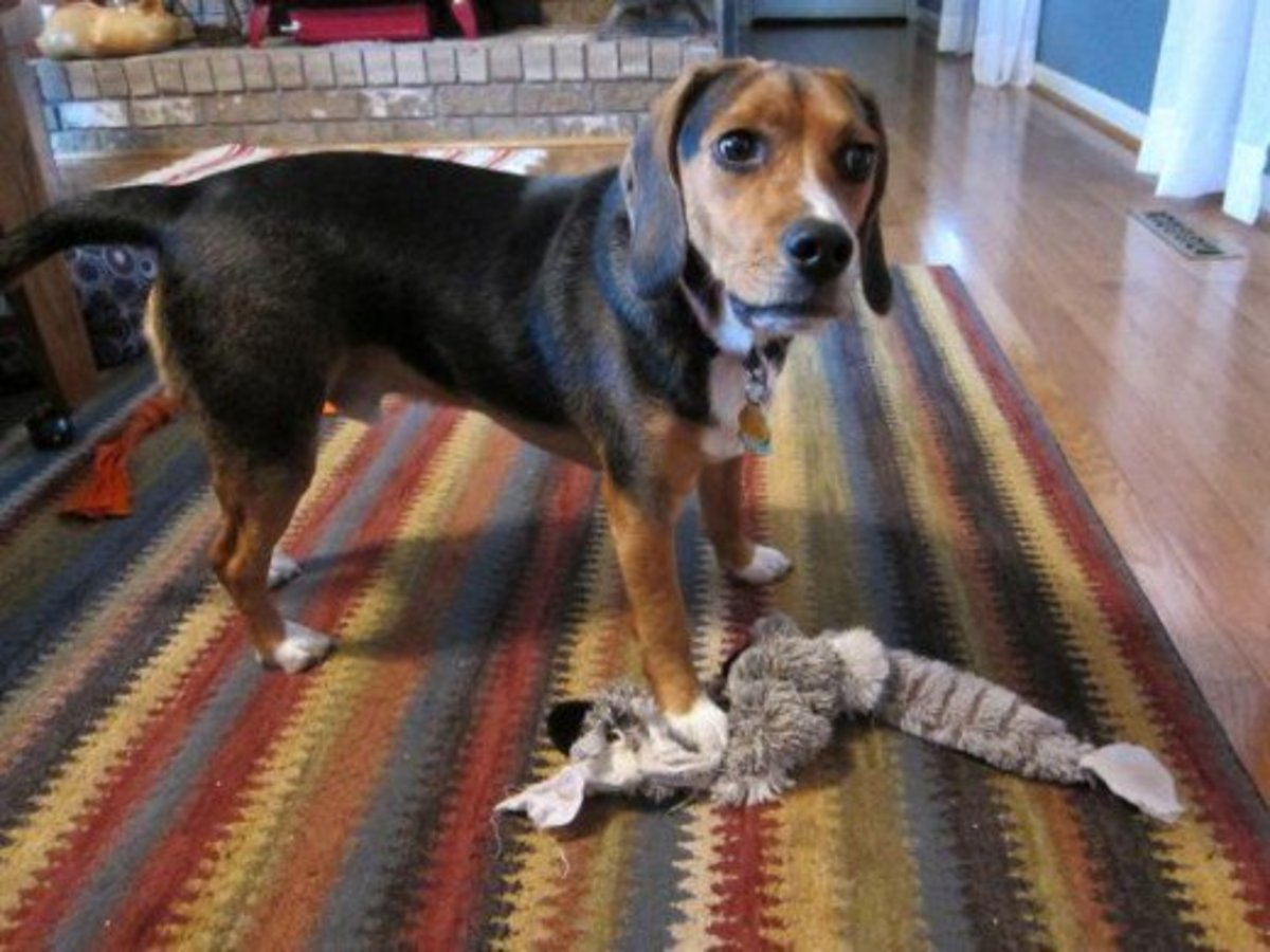 My Beagle Snoopy with one of his fabric toys.