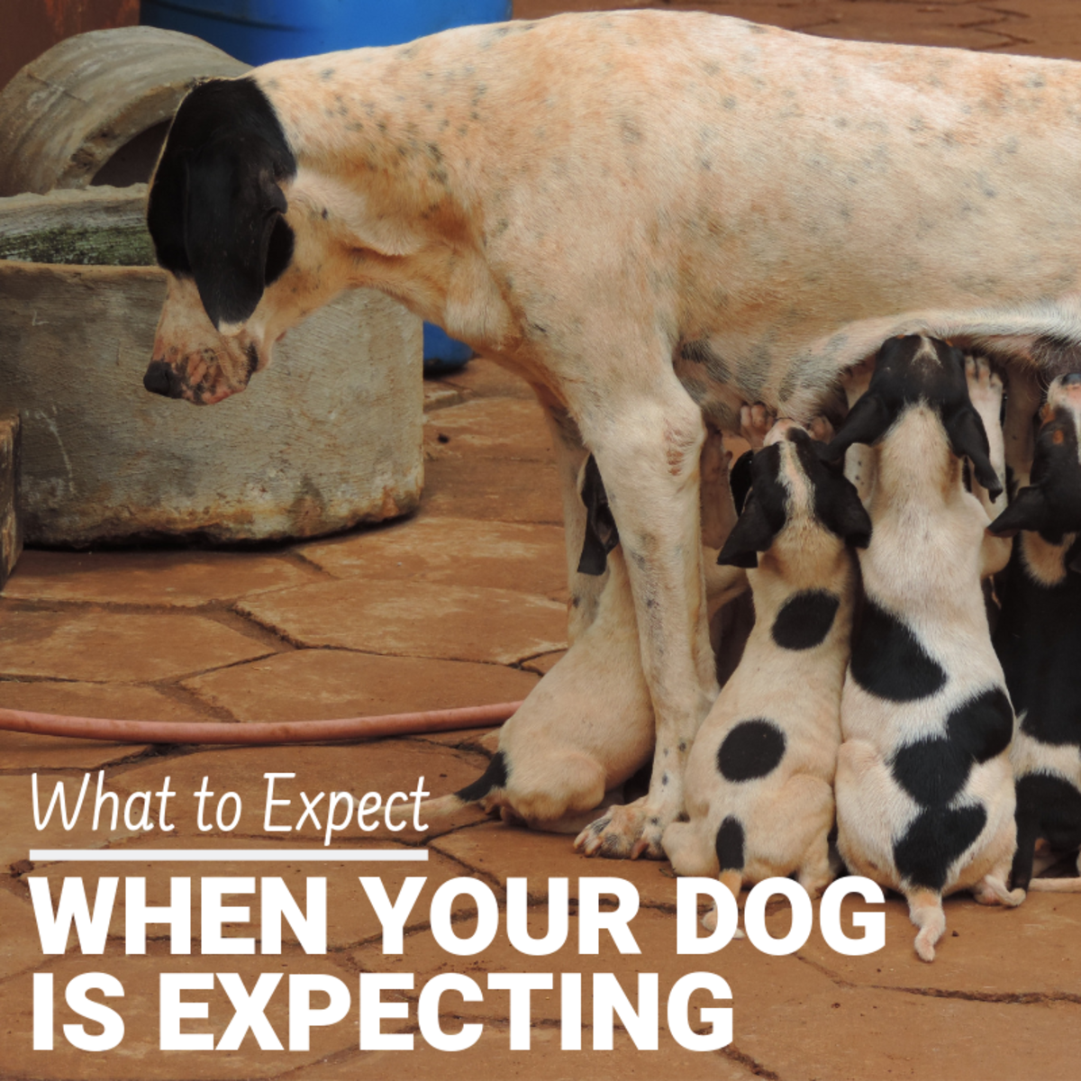 What to Expect When Your Pregnant Dog Is Expecting Puppies