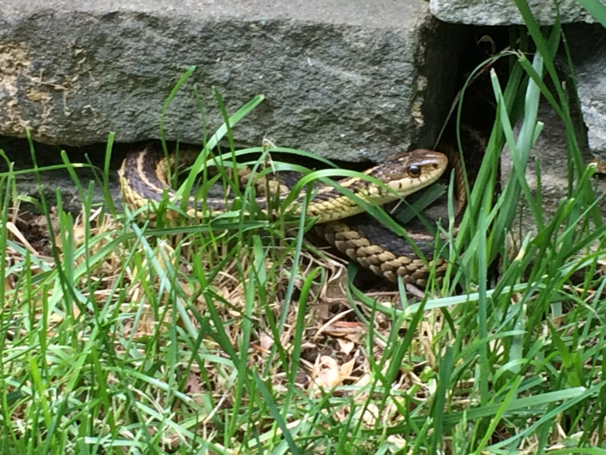 The Snakes in Our Gardens (Toads and Salamanders Too)