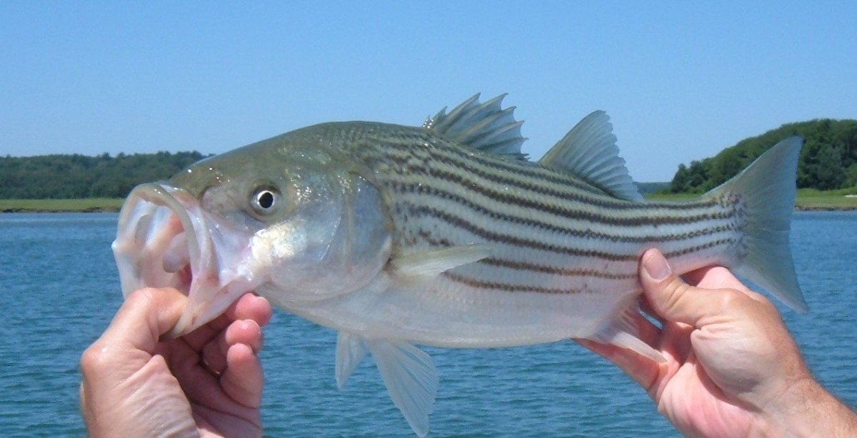 Catching Striped Bass With Sand Worms