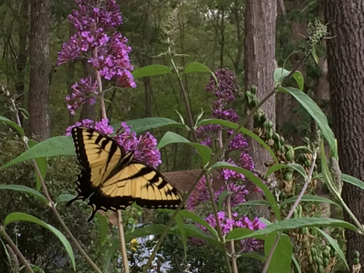 Attracting butterflies to your garden is easier than you might think.