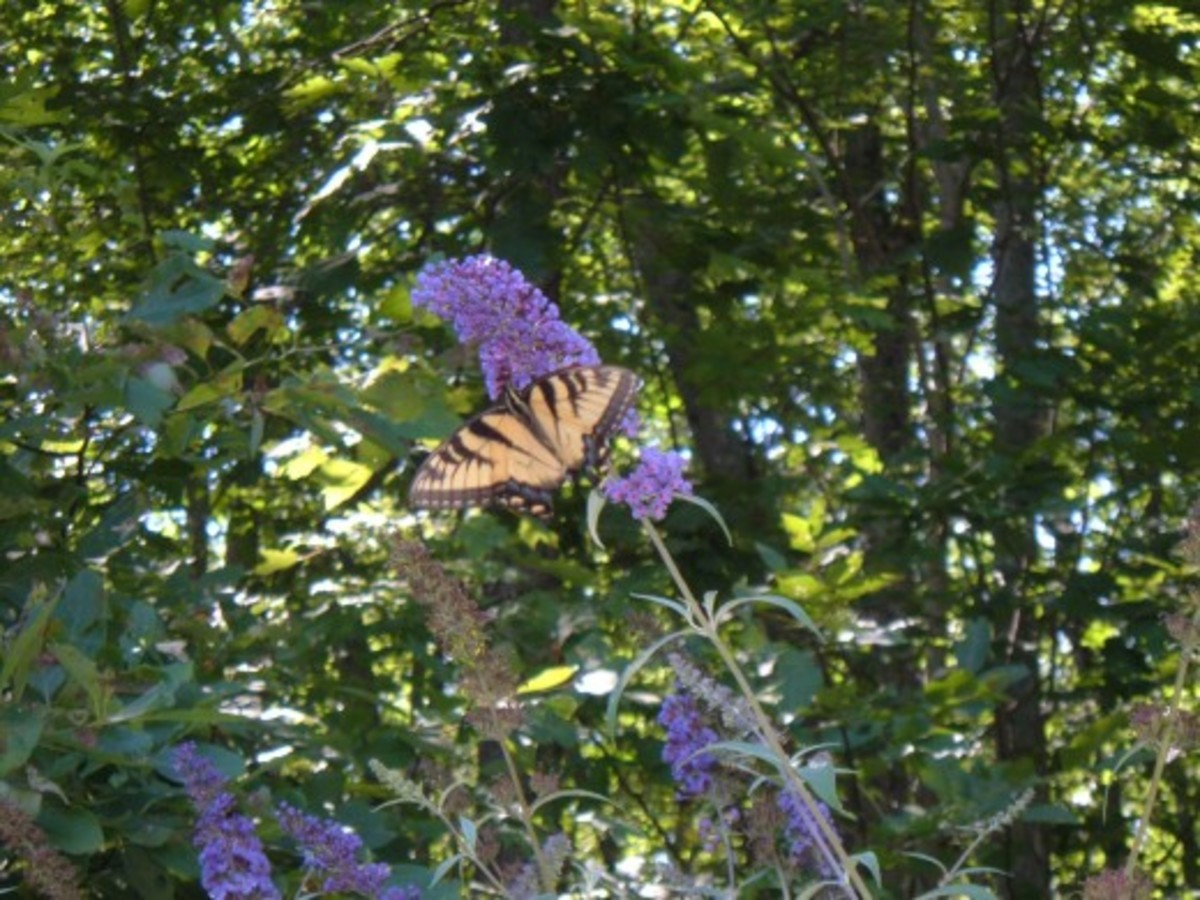 A butterfly on a butterfly bush.