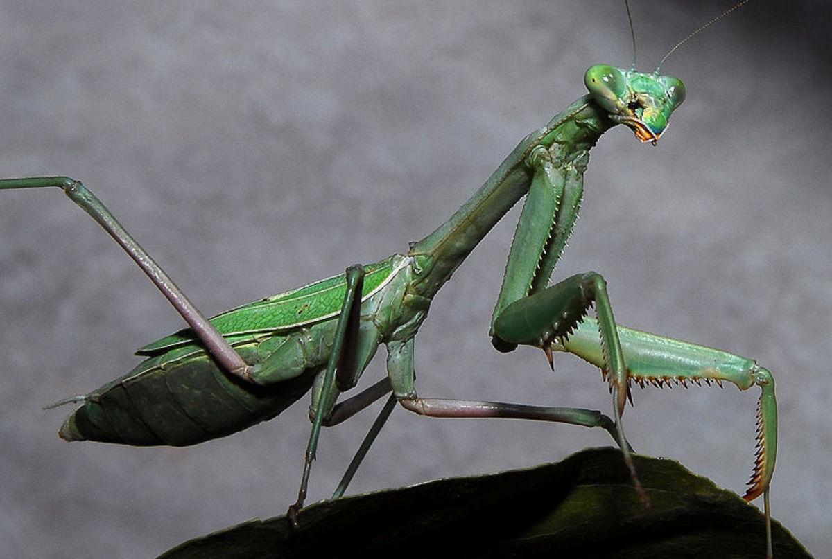 One of the Good Bugs: Praying Mantis