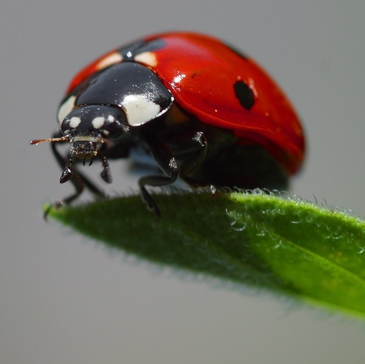 Ladybugs love to feast on aphids
