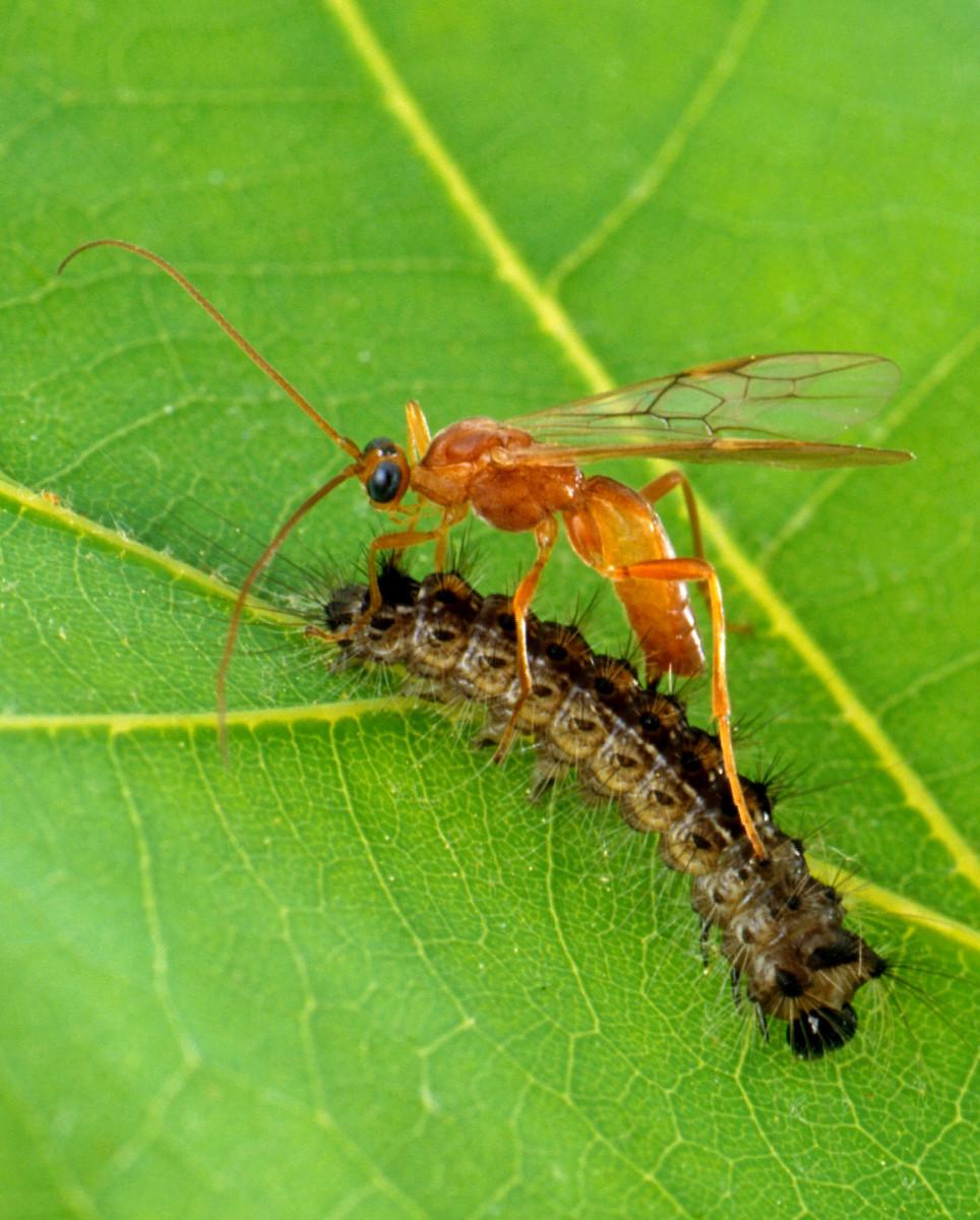 A parasitic wasp attacks a caterpillar.