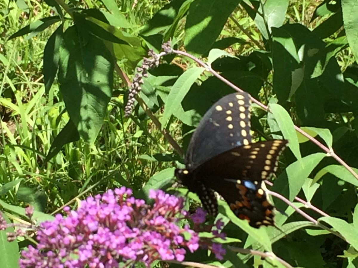 A beautiful Swallowtail butterfly visits our Buddleia Butterfly Bush