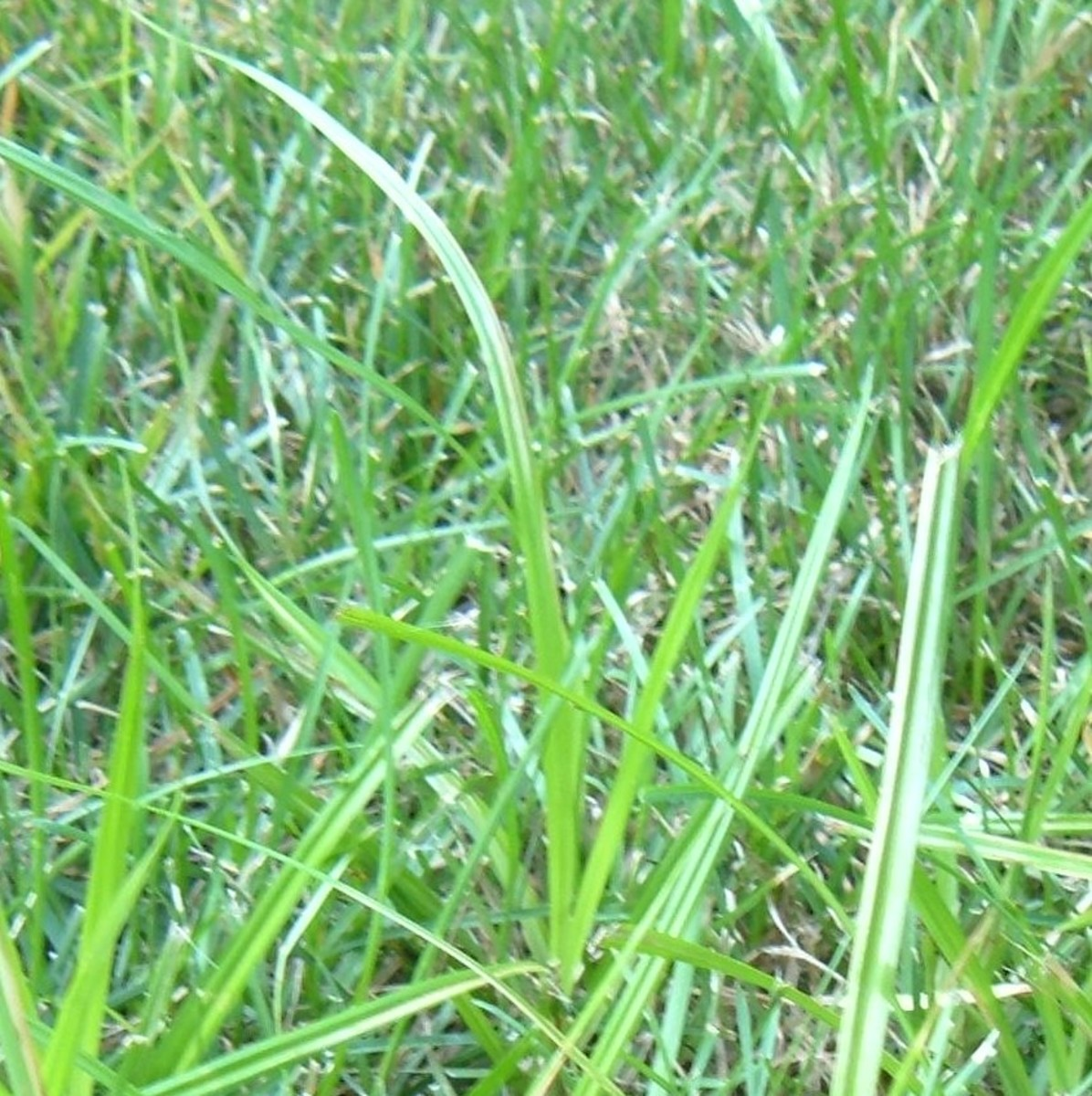 Nutsedge may look like grass, but it is an aggressive weed