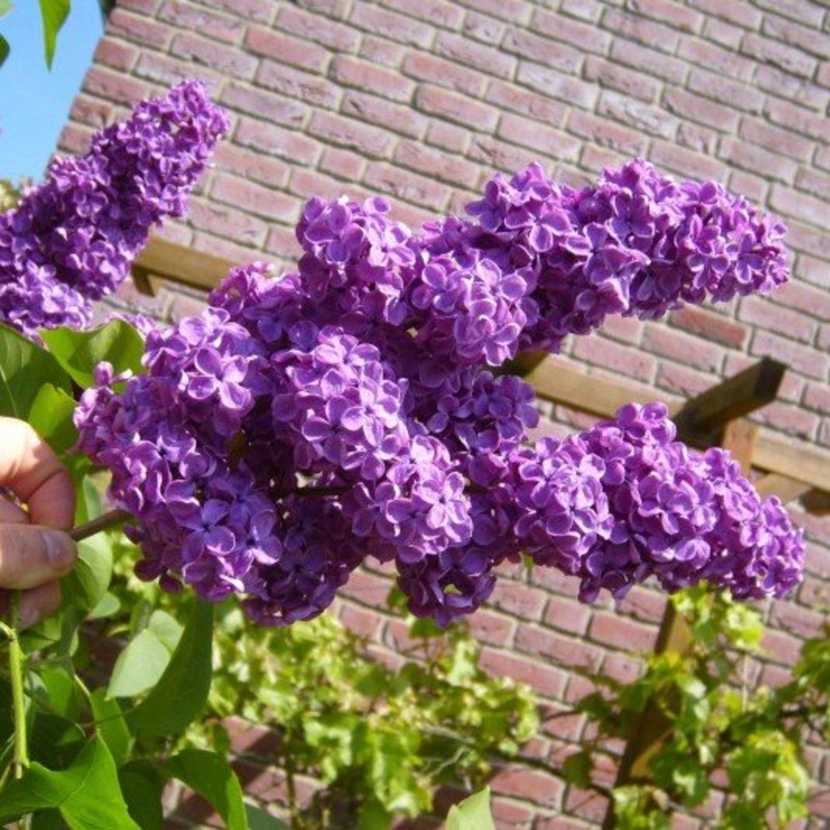 Purple Lilacs in Bloom