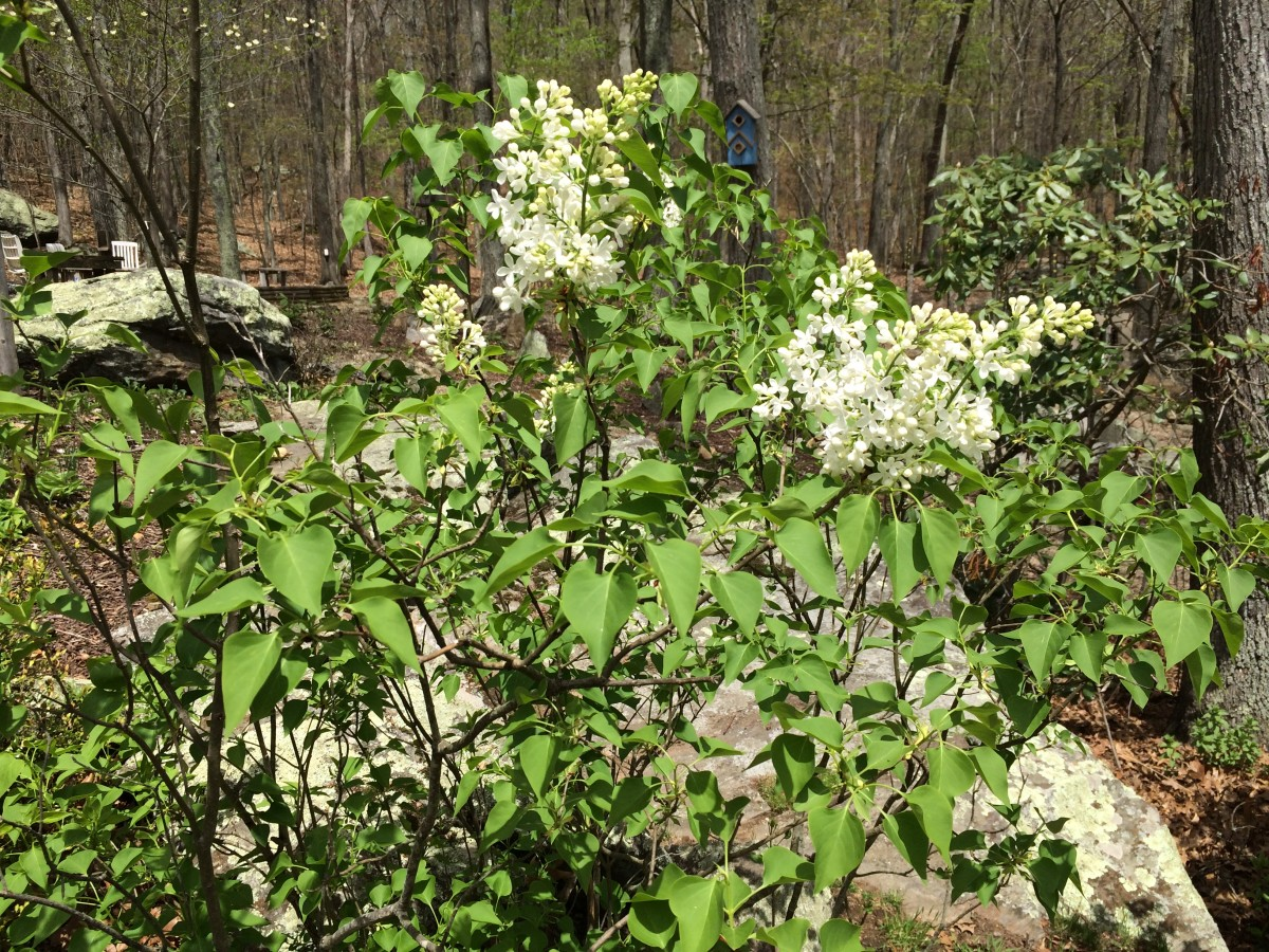 Blooming Lilacs in our backyard.