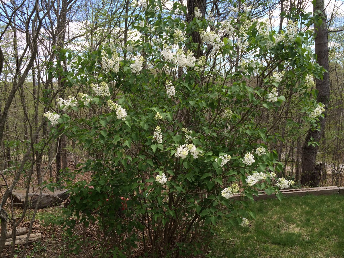 This well shaped lilac blooms profusely every spring.