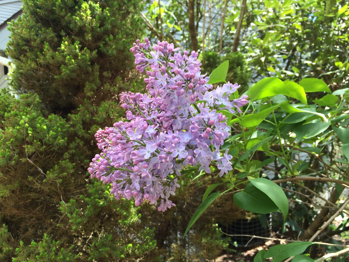 Spring is popping with big, beautiful, purple lilac blooms.