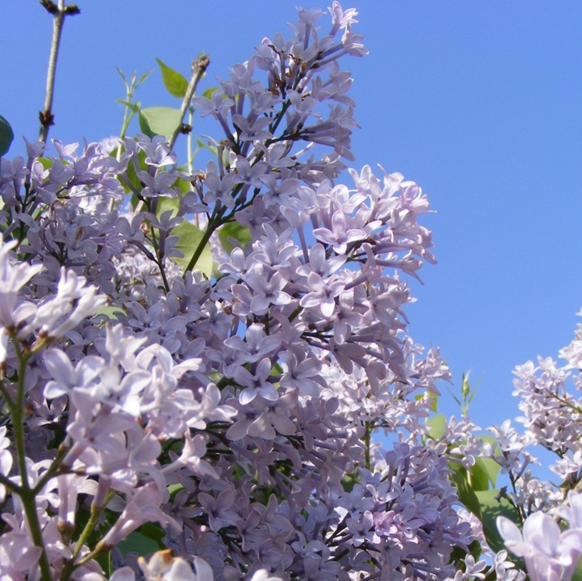 Lovely Lavender Lilac Blooms