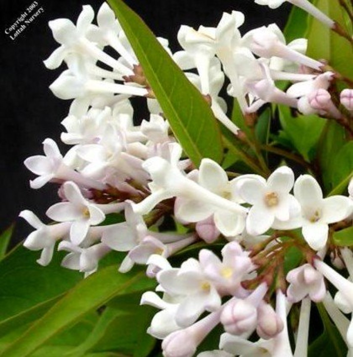 Beautiful White Lilac Flowers