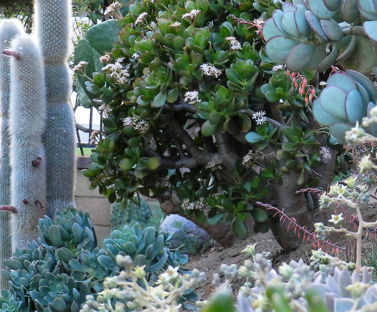 Photos Tips And Care Of 3 Kinds Of Jade Plant Dengarden