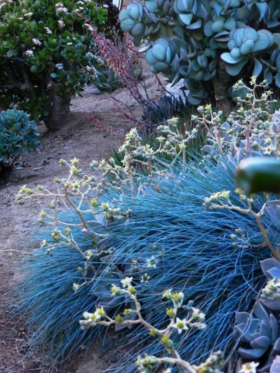 Jade Plant on upper right, Silver Jade on upper left