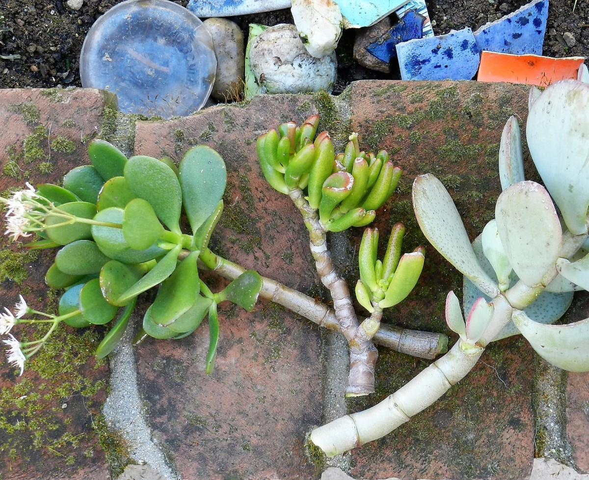 These are three cuttings snapped off at a junction of the three jades in the yard. Let the ends dry up before putting in soil for new root growth.
