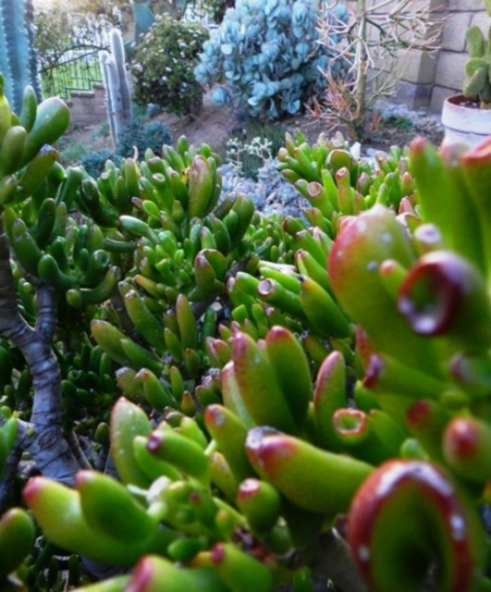 The gollum in the foreground and the two other jade plants in the background at the top.