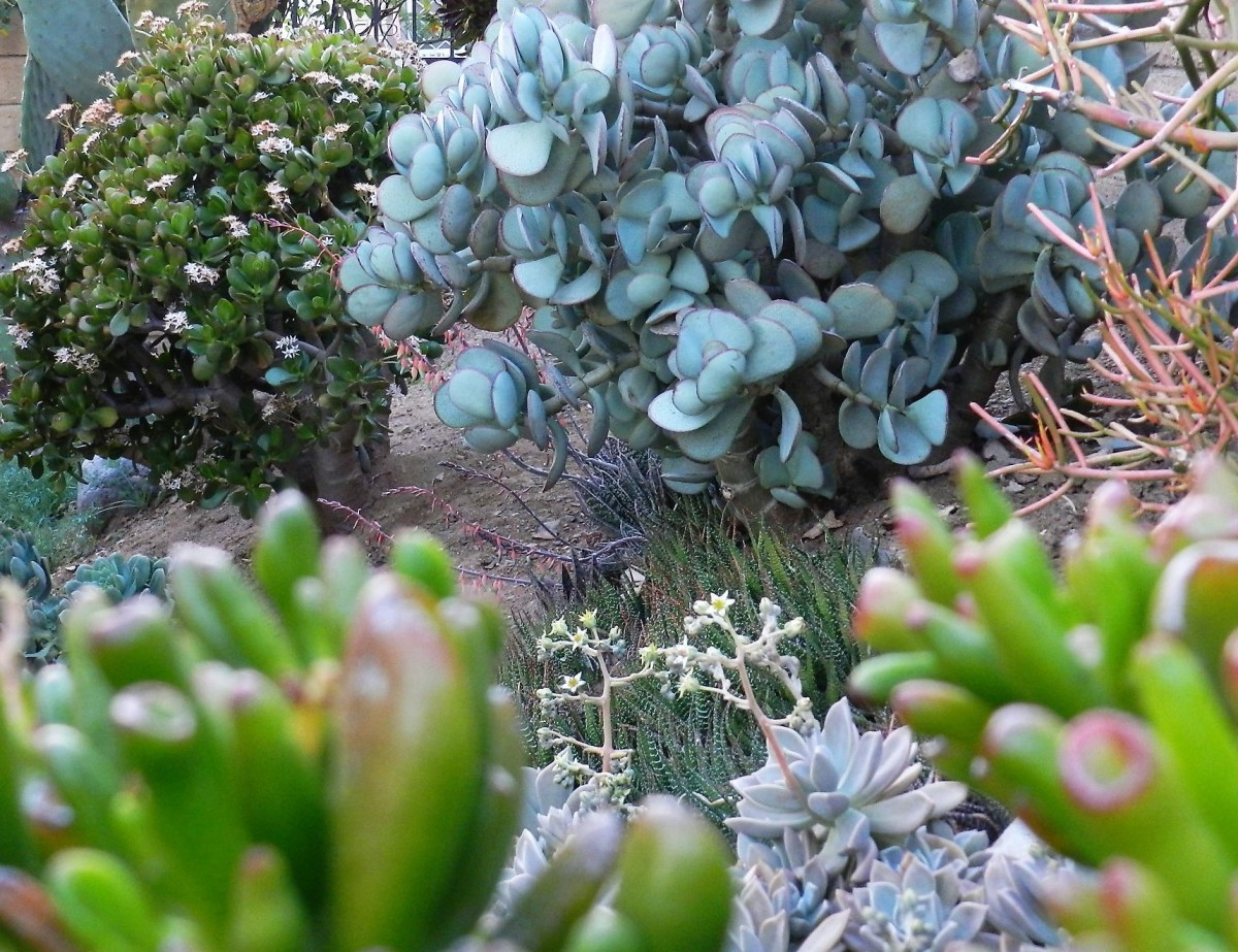 3 different jade plants: The dark green on the left is the well-known type in winter bloom; the blue to the right is called silver jade, and the out-of-focus green in the front are gollum.