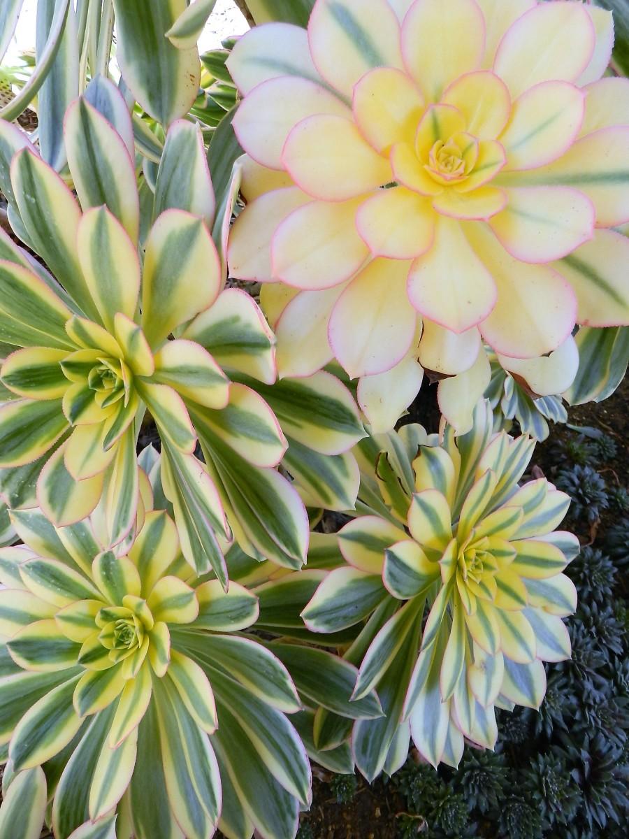 aeonium arboreum 'sunburst'