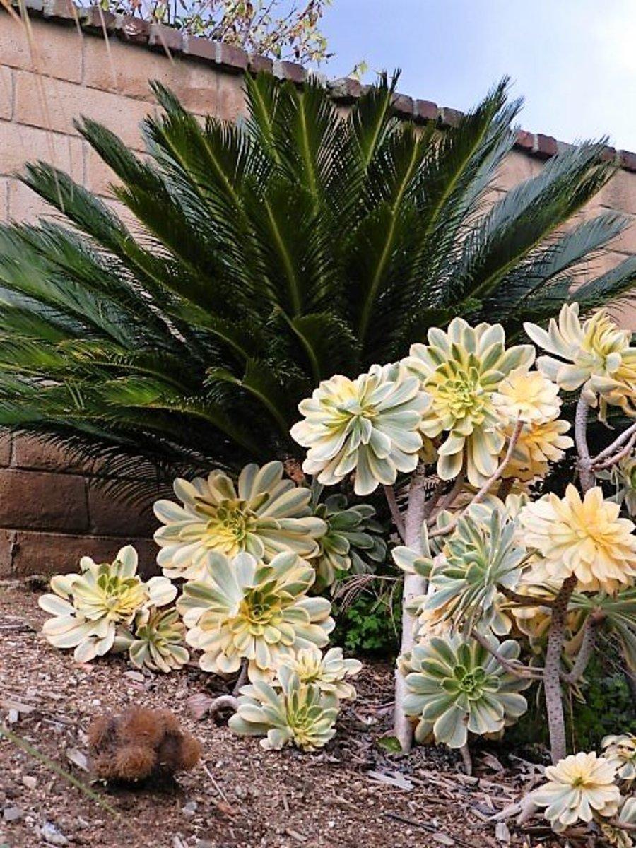 Mass planting sunburst aeonium