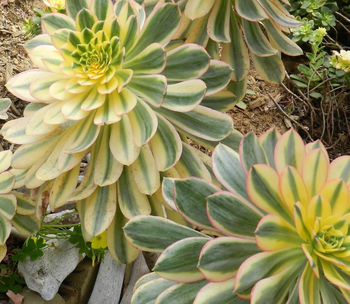 Grow Aeonium Arboreum Sunburst in Your Succulent Garden