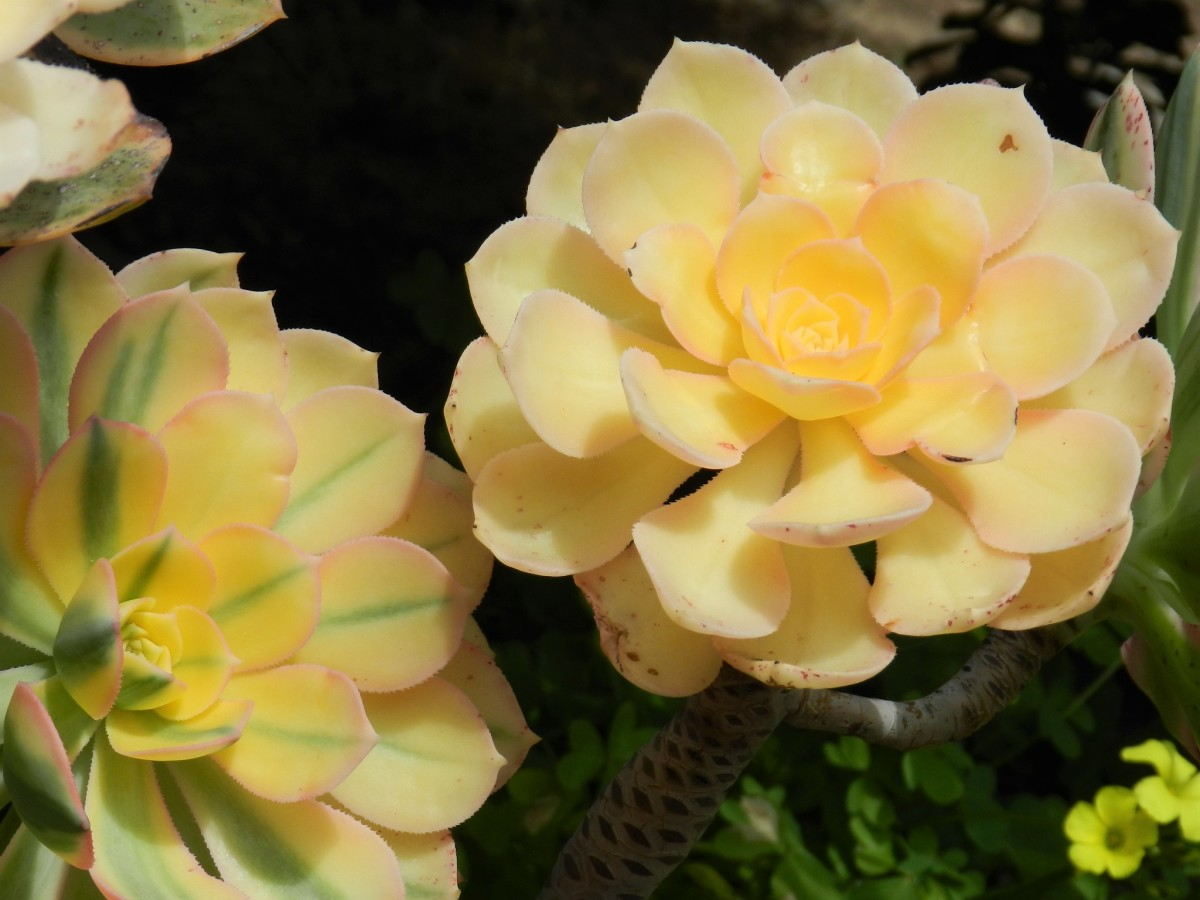 Color variety with your Sunburst aeonium.