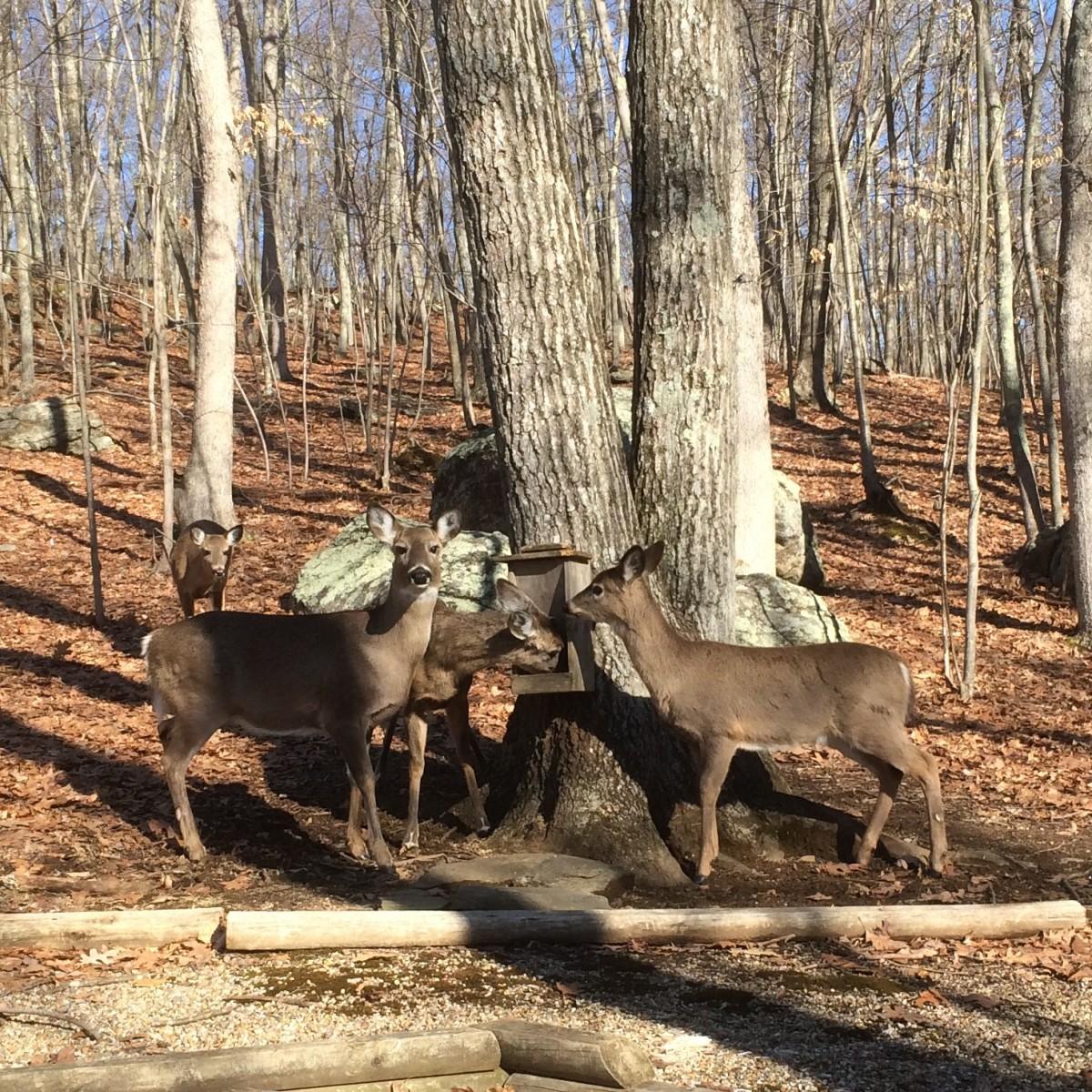 Visitors at the Deer Feeder