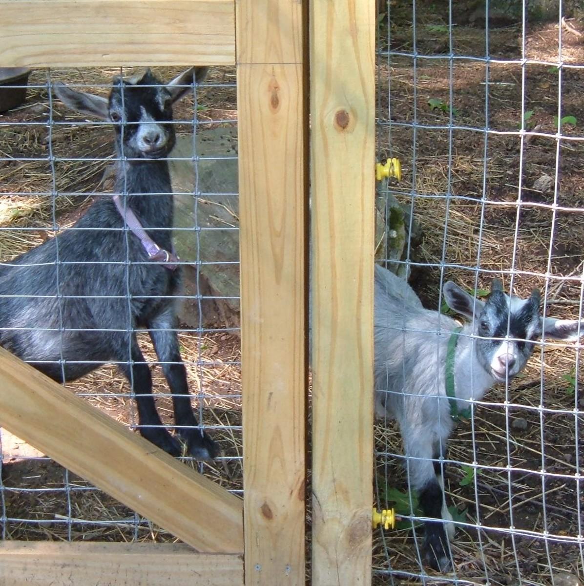 Our pet pygmy goats, Oliver & Delilha