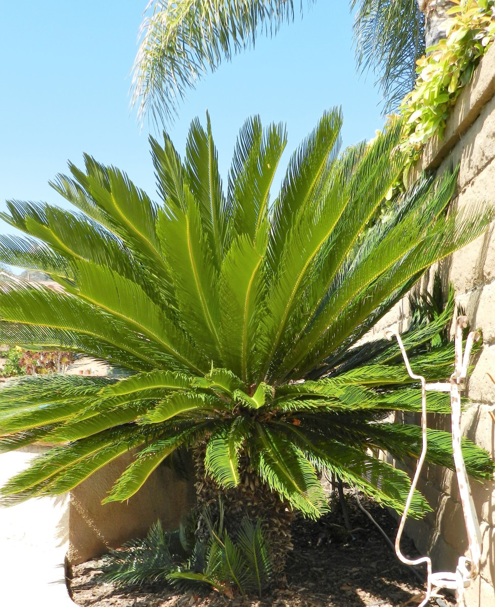 How to Care for a Sago Palm (and Why They Are So Difficult)