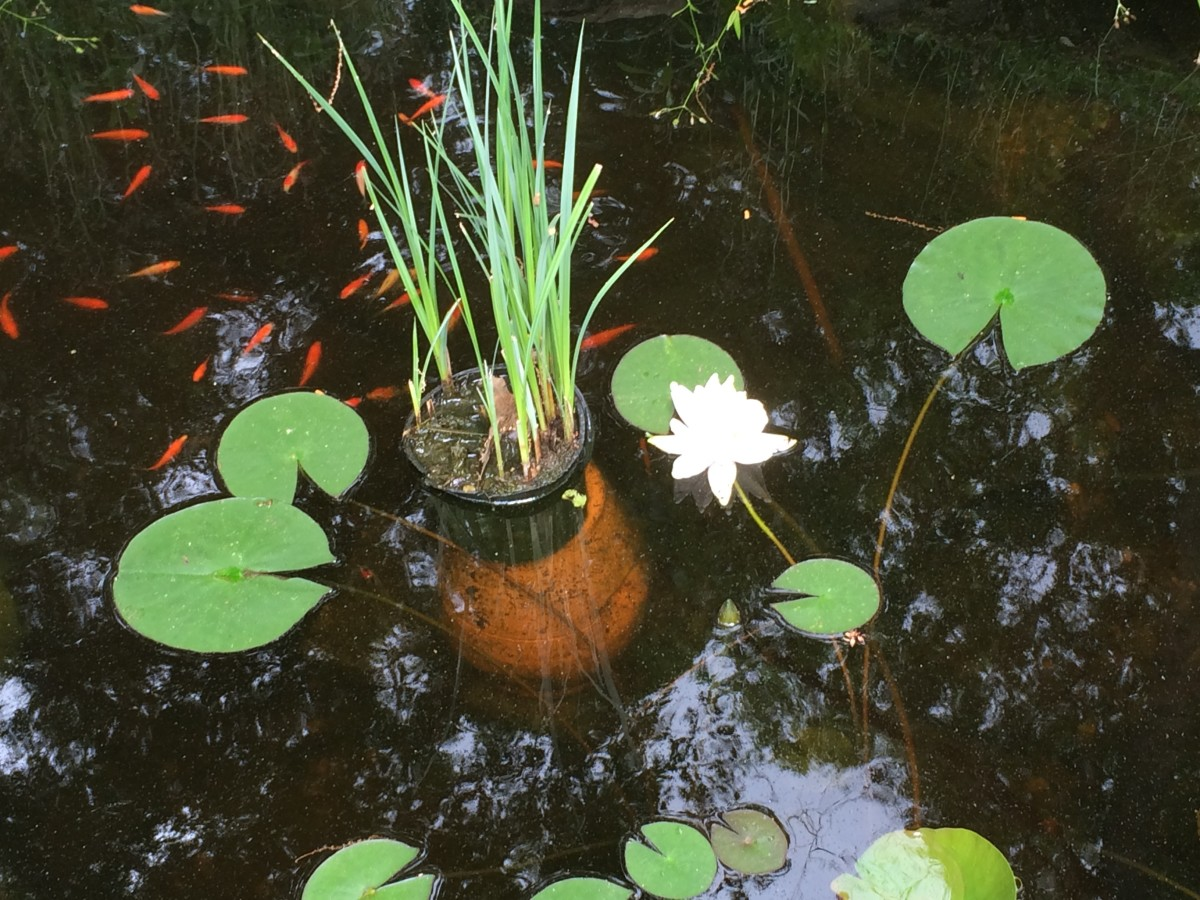 As winter approaches, sink potted plants to the bottom of the pond.