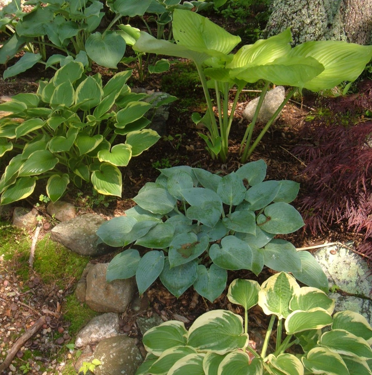 How To Grow And Divide Hosta Plants Dengarden