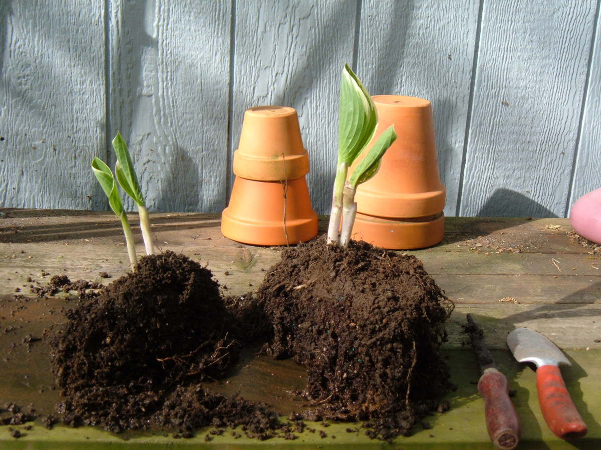 Divided Hostas, Ready for Planting!