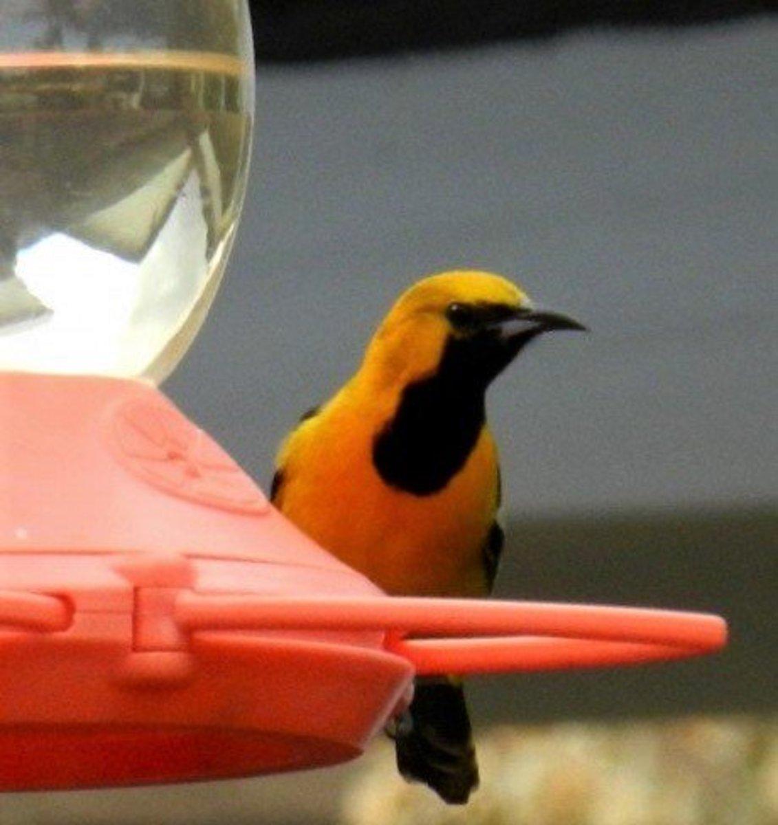 Innsbrook Resort | Atraer aves a su patio trasero