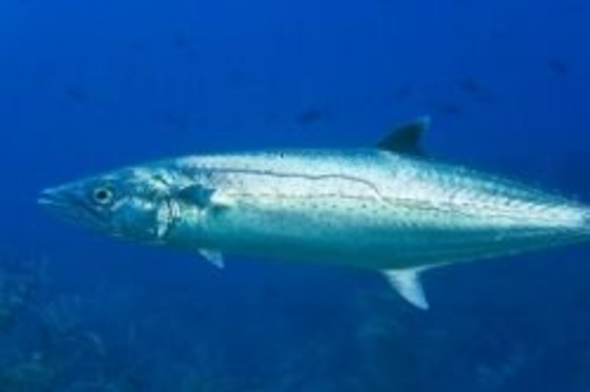 """A king mackerel swimming. Notice the """"drop"""" or jag in the """"lateral line"""" on the side of the fish.  This is the surest way to tell the difference between a juvenile king mackerel and a Spanish mackerel."""