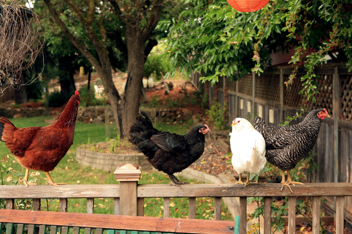 Healthy backyard chickens